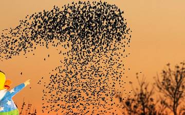 How do starlings dance in Son Bou?